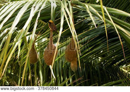 A Closeup View Of Weaver Bird Isolated On Nest In Palm Tree