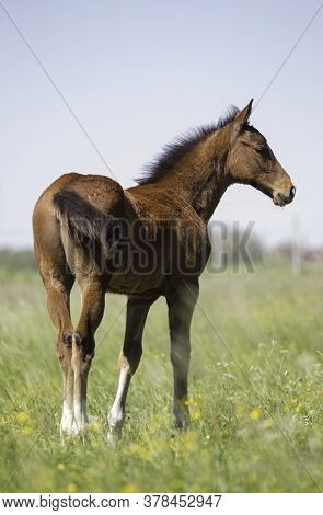 A Young Colt Stands On A Green Pasture Behind With Its Head Slightly Turned Towards The Camera