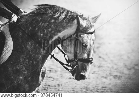 Black-and-white Image Of A Gray Sports Horse Dapple With A Rider In The Saddle, Illuminated By Sunli
