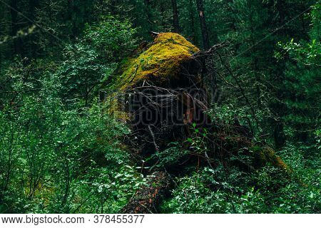 Big Fallen Tree Root Covered With Thick Moss In Taiga Wilderness Among Fresh Greenery. Atmospheric L