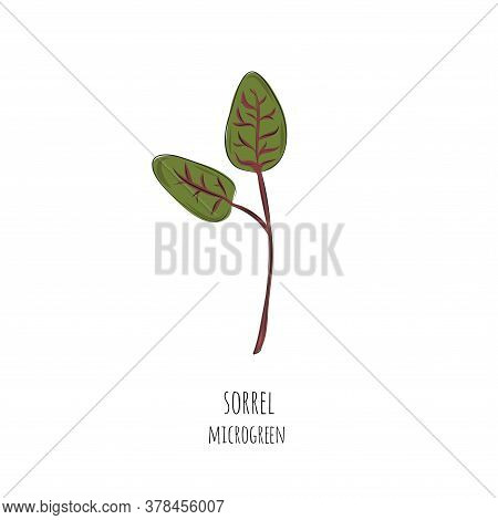 Hand Drawn Sorrel Micro Greens. Vector Illustration In Sketch Style Isolated On White Background.