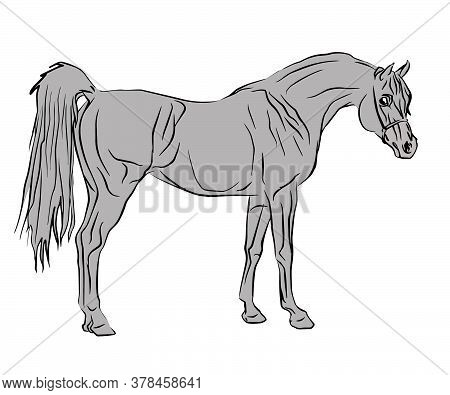 Vector Isolated Contour Drawing Of A Beautiful Elite Arab Stallion Drenched In Gray On A White Backg