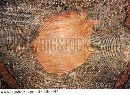 Cross Section Log Texture. Dark Wood Background Showing Top Cut Of Tree Trunk With Rings.