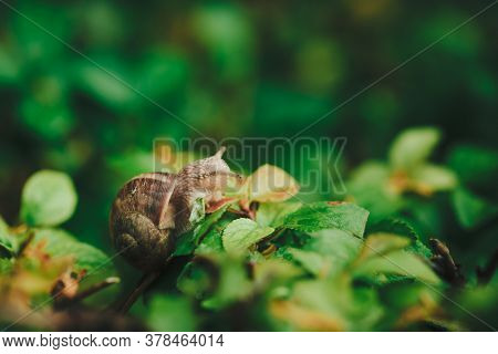 Small Snail On Hedge Leaf With Blurred Background