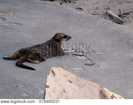 Portrait Of Meerkat Suricata Suricatta, African Native Animal, Small Carnivore Belonging To The Mong