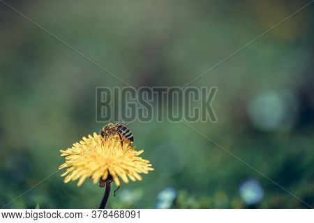 Bee Collects Nectar On A Yellow Dandelion Flower