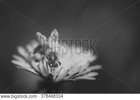 Black And White Photo Of Bee Collects Nectar On A Yellow Dandelion Flower