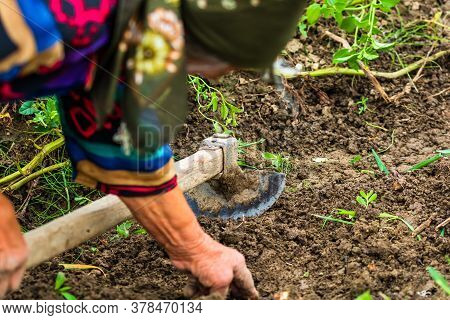 Harvesting And Digging Potatoes With Hoe And Hand In Garden. Digging Organic Potatoes By Dirty Hard