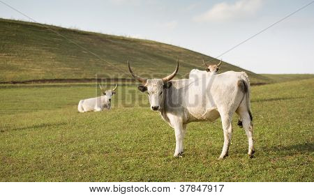 A unique breed hungarian gray cattle grazing outdoors. poster