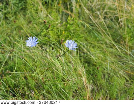 Flower Of Chicory In The Meadow Waving By The Wind. Sunny Day