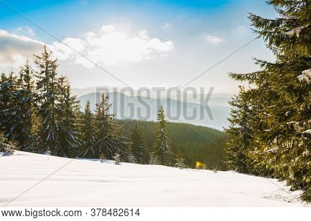 Beautiful View Of Majestic Green Spruce Trees Growing On A Hill In Winter Snowdrifts Against A Blue