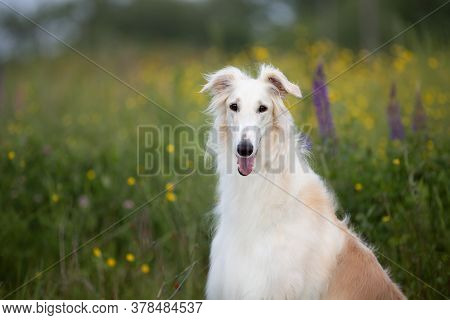 Portrait Of Beautiful Dog Breed Russian Borzoi Sitting In The Green Grass And Yellow Buttercup Field