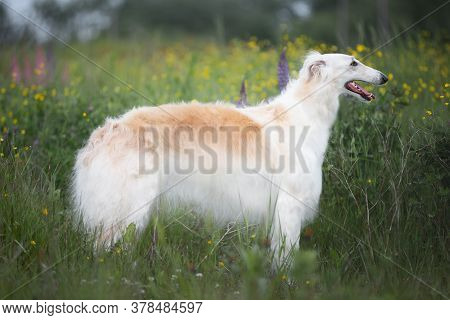 Portrait Of Beautiful Dog Breed Russian Borzoi Standing In The Green Grass And Yellow Buttercup Fiel