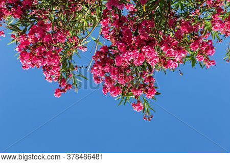Red Flowers Of Rhododendron Azalea Against The Blue Sky. Bottom View.