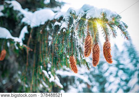 Green Frozen Fir Branches Covered With A Thick Layer Of Snow Of A Beautiful Large Spruce Growing In
