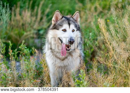Cute alaskan malamute with tongue out standing in summer grass