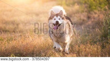 Alaskan malamute running on a field