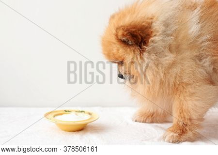The Little Dog, The Pomeranian Stands In Front Of A Yellow Bowl Of Yogurt, And Looks At It