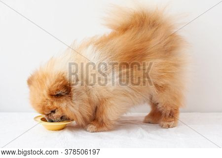A Small Dog, A Pomeranian, Stands Next To A Yellow Bowl Of Yogurt And Eats From It, Side View