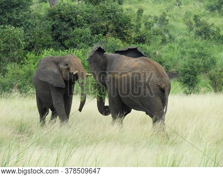 Young Elephants Playing During The Day In The Kruger National Park In Mpumalanga In South Africa