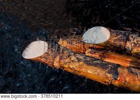 Sugarcane Burned In The Harvest Season, Sugar Cane Fresh, Sugarcane Burn In Field, Sugar Cane Burned