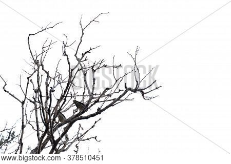 Blurred A Dead Tree With Twigs In The Forest With White Sky Background And Birds Sitting On The Top