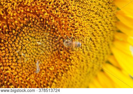 Small Yellow Bee Pollinates The Seeds Of The Sunflower Close Up