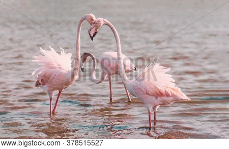 Two Greater Flamingos Stand In The Water And Hug Their Heads In An Arc. In The Background Is A Blue