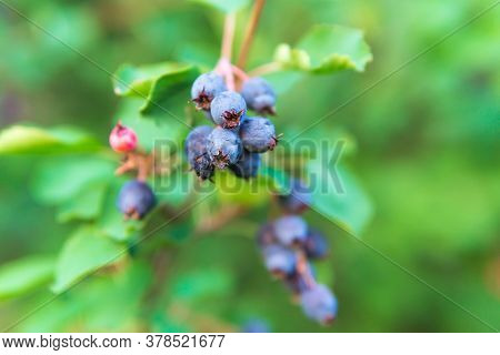 Amelanchier Alnifolia, The Saskatoon, Pacific Serviceberry, Western Serviceberry On The Branches Of