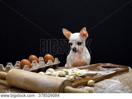 White Chihuahua Prepares Dumplings. The Dog Sits At The Table With Dumplings Soiled In Flour And Loo