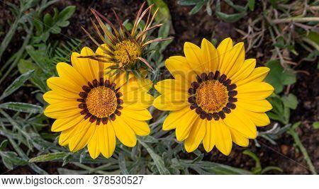 Close-up Photo Of Two Beautiful Yellow Garden Flowers Gazania Gazania Linearis In A Flower Bed In Th