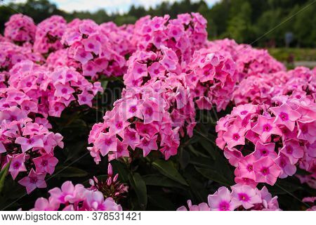 Beautiful Pink Flowers Of Phlox Paniculata, Also Known As, Fall Phlox, Garden Phlox, Perennial Phlox