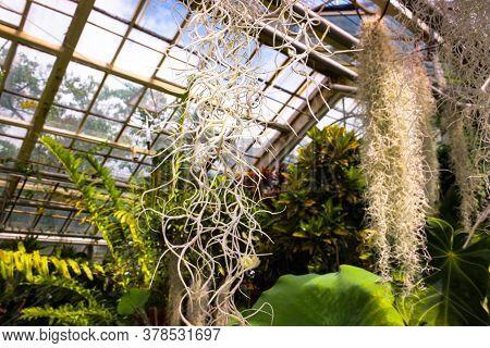 Close-up Photo Tillandsia Usneoides, Called Spanish Moss.