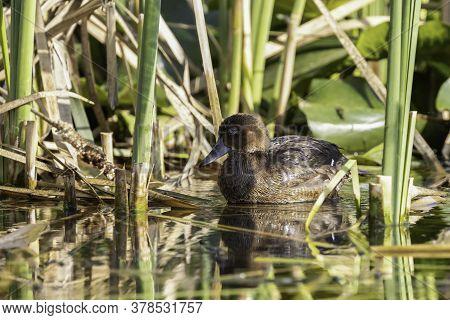 An Endangered Ferruginous Duck In A Natural Pond In Jerusalem, Israel