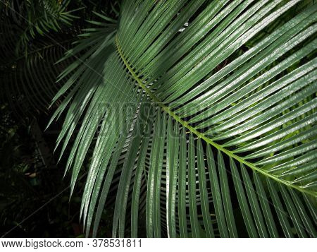 Dypsis Lutescens Is A Species Of Flowering Plant. Also Known As Golden Cane Palm, Yellow Palm Or But