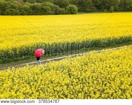 A Person With Red Umbrella Walking Through The Yellow Blooming Rape Field