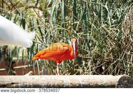 Scarlet Ibis Eating A Small Fish, Colorful, Wood, Green