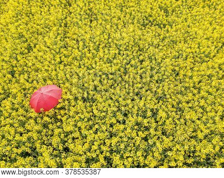 A Red Umbrella Among The Yellow Rape Field In Spring Time