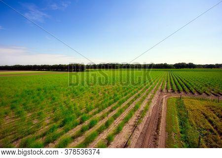 Landscape With Asparagus Field, Fresh Plantation Of The Vegetable Asparagus Farmers Harvest In April