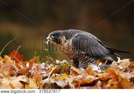 Bird Of Prey Peregrine Falcon, Falco Peregrinus, With Prey On The Groung. Orange Autumn Forest And L