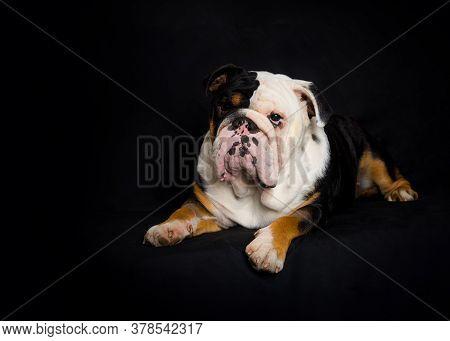 Black And White English Bulldog Lying  On Black Background