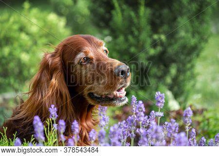 Portrait Of An Elderly Irish Setter Against A Background Of Lavender