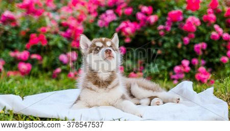 Beautiful Siberian Husky Puppy On A Background Of Flowers