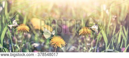 Beautiful Nature, Butterfly On Flowering Dandelion In Meadow