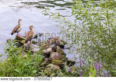Family Of Wild Geese With Small Children At The Shore  Of River Moselle, Germany