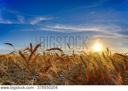 Ripe Wheat Ears In Evening On The Field At Sun, Clouds And Blue Sky, Lens Flare