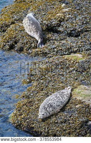 Harbor Seals On The Rocks. Harbor Seals Basking On The Rocks.