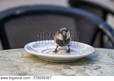 A Sparrow On A Plate Eats Cake Crumbs In A Street Cafe. Portrait Of A Sparrow.