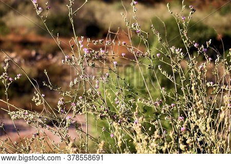 Chaparral Plants With Wildflower Blossoms Taken On An Arid Grassy Plain Taken In The Cajon Pass, Ca