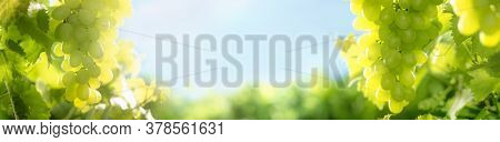 Vineyard background,copy space for your text